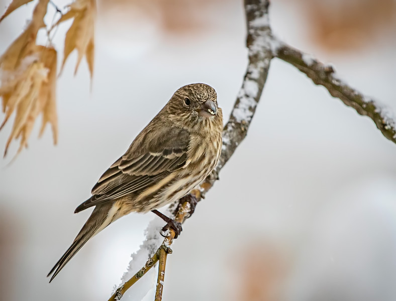 01-19_HouseFinch_2019c_edit.jpg