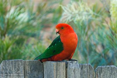 King Parrot visit