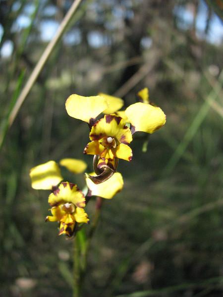 Diuris pardina - Leopard Orchid - Brisbane Ranges