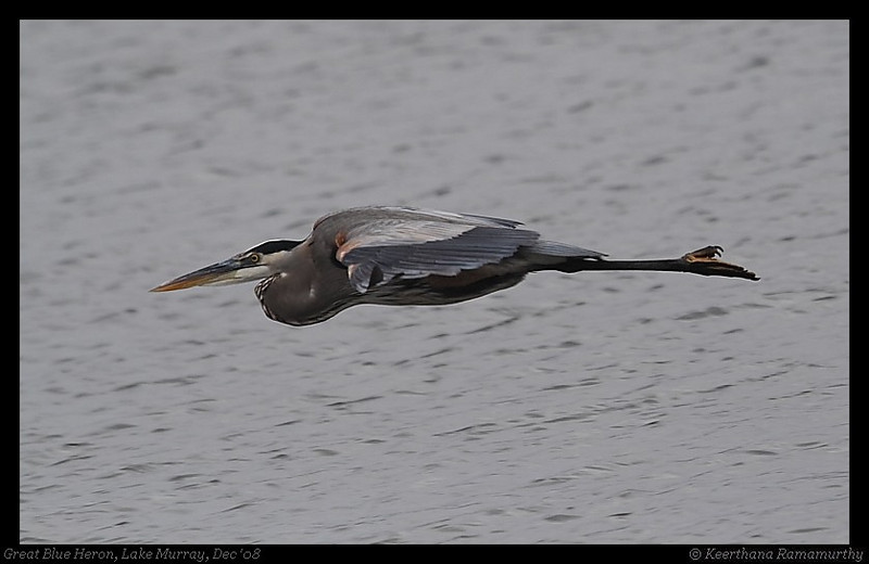 Great Blue Heron, Lake Murray, San Diego County, California, December 2008