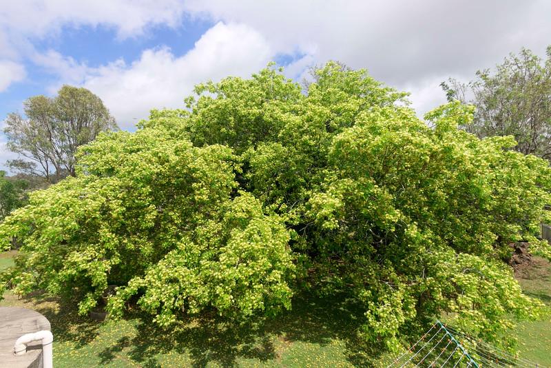 Rain tree flower 12.jpg
