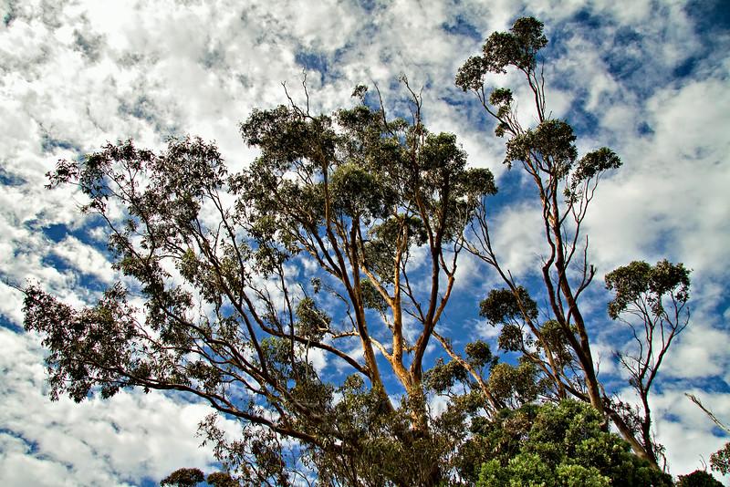 Eucalyptus Profile