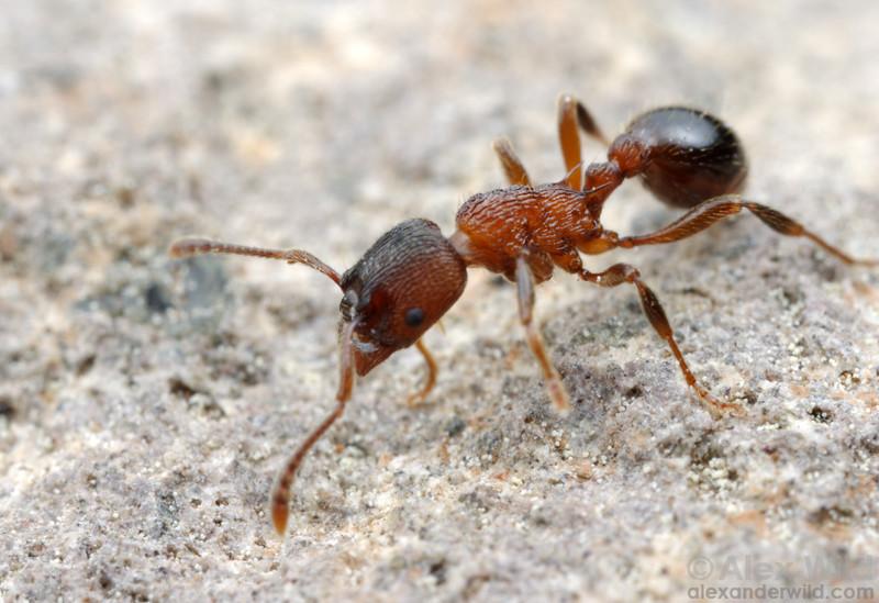 Myrmica incompleta