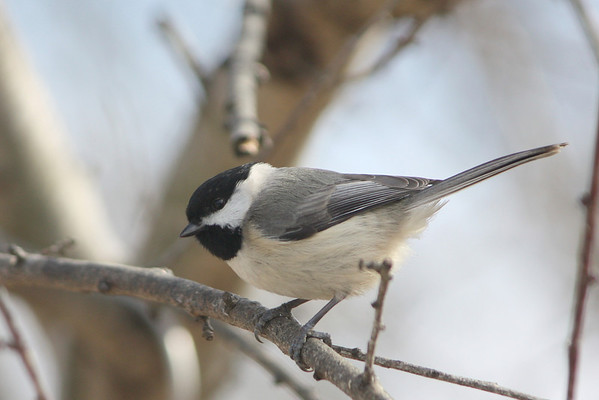 Black-capped vs Carolina