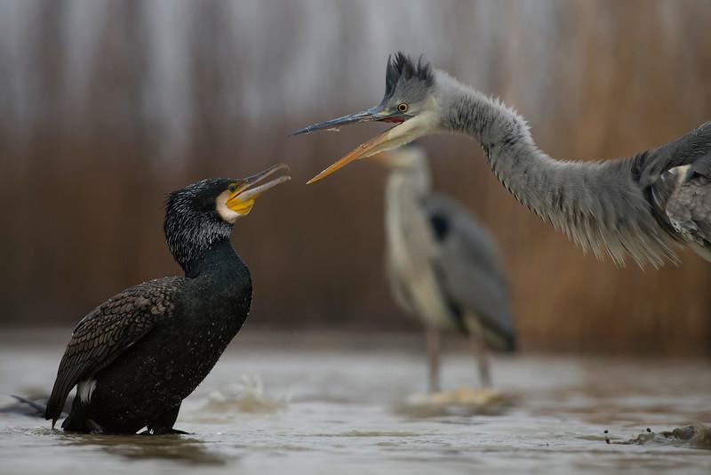 Grey Heron & Great Cormorant