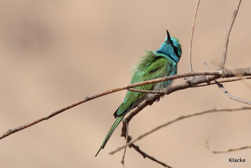 Little Green Bee-Eater, Grön Dvärgbiätare