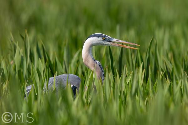 Great Blue Heron Image Gallery