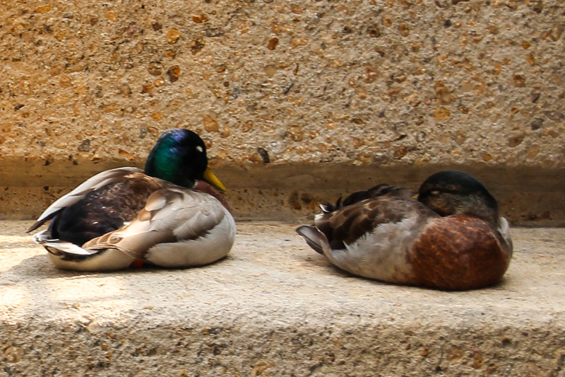 San Antonio Riverwalk - Mallards