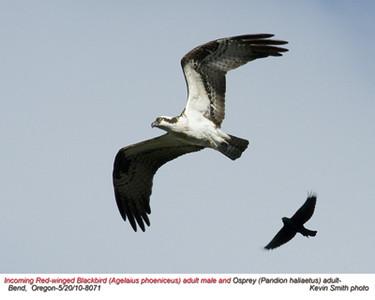 OspreyA&RedWingedBlackbirdM8071.jpg