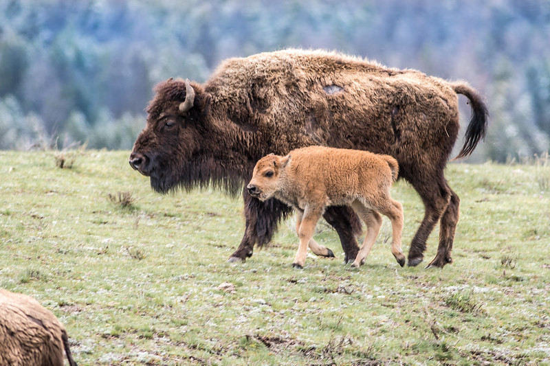 Bison and calf red dog Yellowstone National Park WY DSC05030.jpg