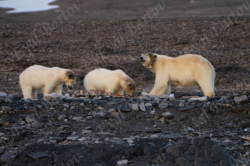 A Bear female and her cubs eat whale remains