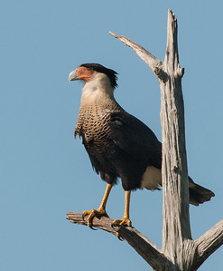 This guy is a Crested Caracara, the national bird of Mexico.  He is a member of the falcon family and eats small animals and road kill.  This is the first picture that I was able to take in the wild and I really feel lucky as I just happened to notice him as I was driving from one cell to the other in Viera.