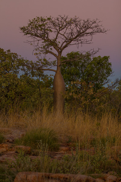 Genevieve Hathaway_The Kimberley_Gibb River Road_boab at sunset_2.jpg