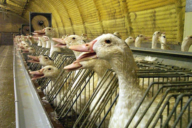 foie-gras-cages-individuelles-06.jpg