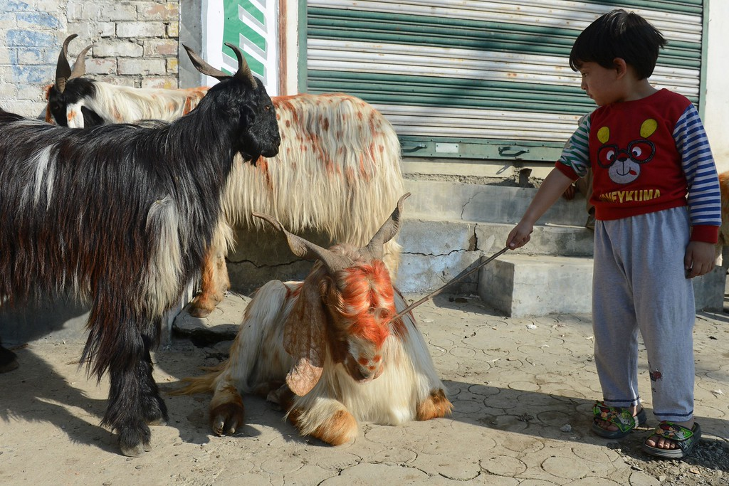 . A Kashmiri child pokes a goat, one of many for sale, ahead of the Muslim festival of Eid al-Adha, in Srinagar on October 15, 2013. Muslims across the world are preparing to celebrate the annual festival of Eid al-Adha, or the Festival of Sacrifice, which marks the end of the Hajj pilgrimage to Mecca and in commemoration of Prophet Abraham\'s readiness to sacrifice his son to show obedience to God. AFP PHOTO/Tauseef  MUSTAFA/AFP/Getty Images