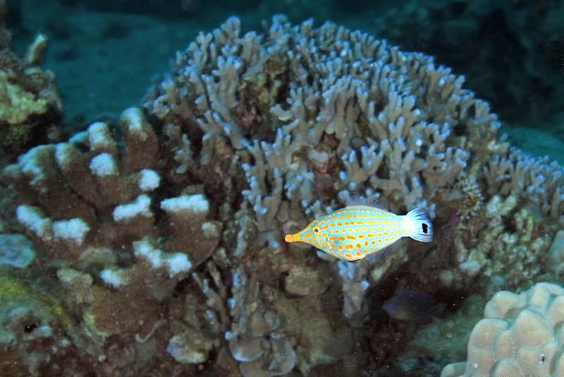 Longnose Filefish 4.jpg