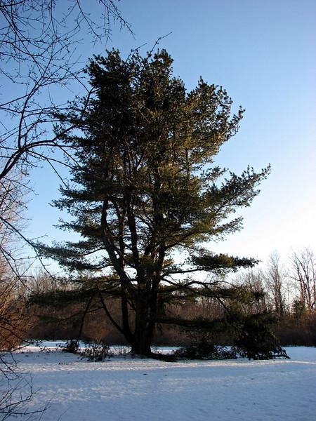 Google tree.JPG