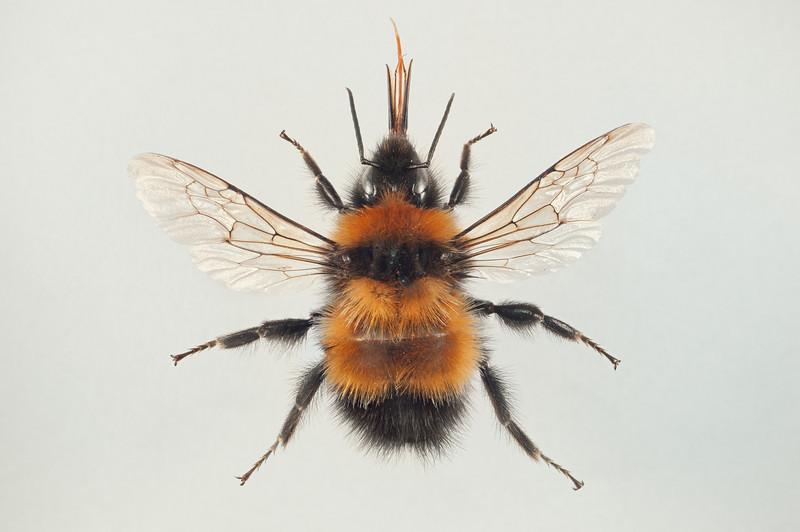 Bombus hyperboreus -hann