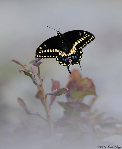 BlckSwallowtail1111.jpg