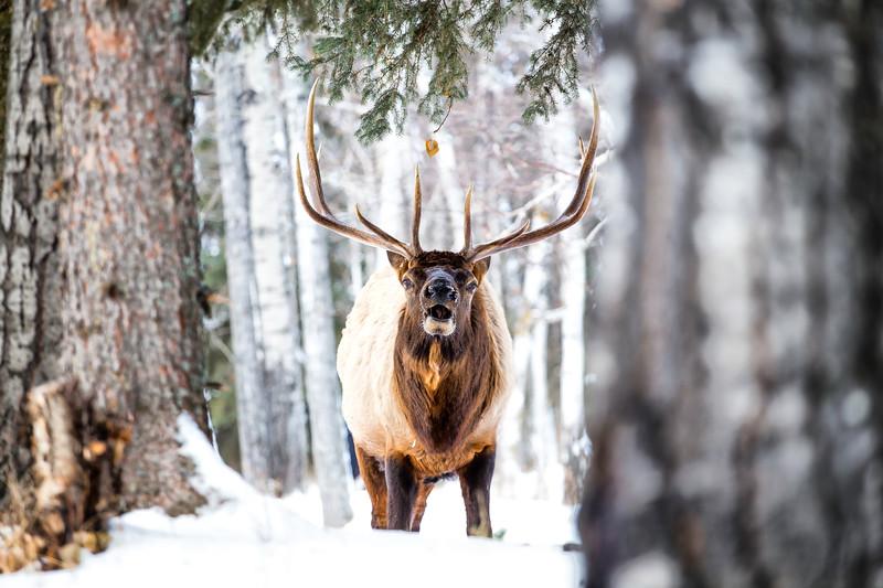 Elk Waskesiu November 16-18.jpg