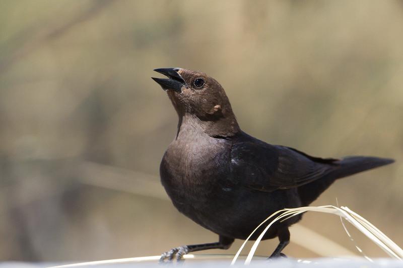 Brown-headed Cowbird - Female - San Pedro House, Sierra Vista, AZ, USA