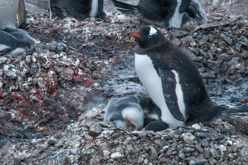 Gentoo penguins in Paradise Bay