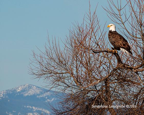 _DSC9579Seraphin Bald Eagle.jpg
