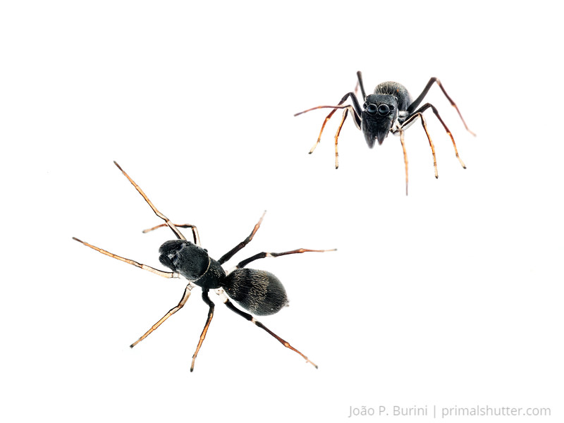 Ant mimicking jumping spider (Salticidae, Myrmarachne sp.) São Lourenço, Minas Gerais, Brazil Urban December 2017