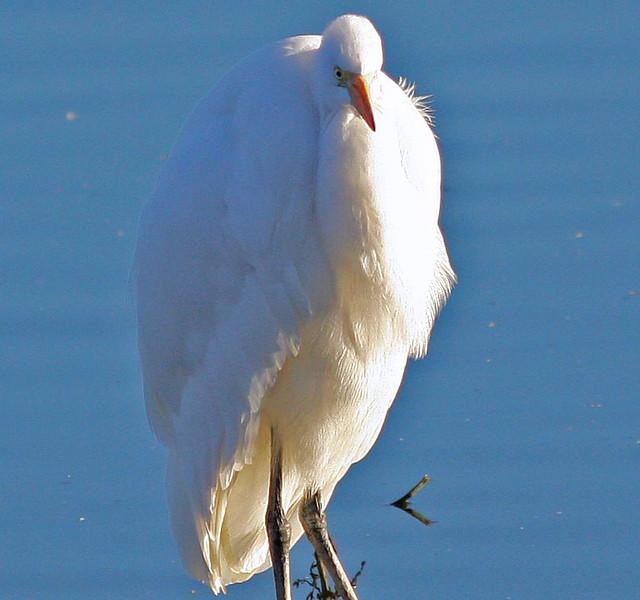'Marilyn'  great egret (Las Gallinas)