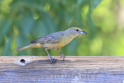 Hepatic Tanager ♀