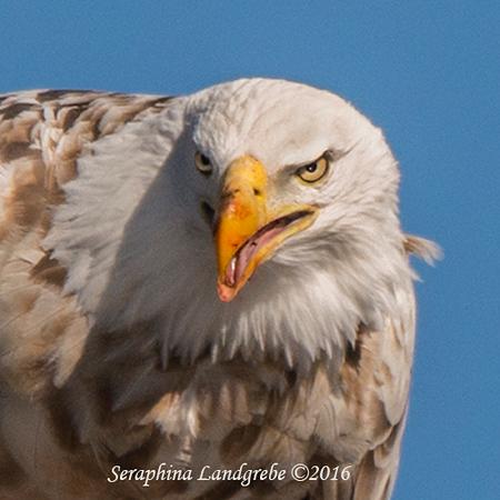 _DSC0154Leucistic Bald Eagle.jpg