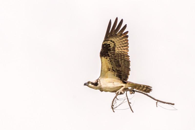 osprey series