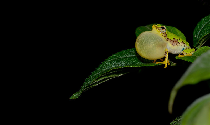 Jayarami-bush-frog-Munnar-3.jpg