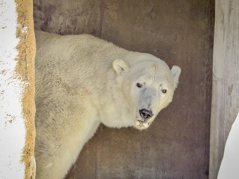 Polar Bear  - Denver  Zoo