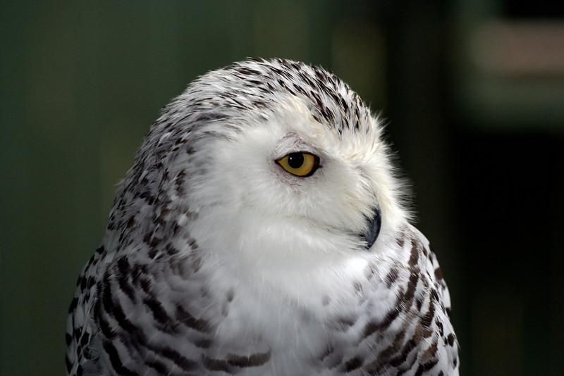 Snowy Owl Queechee, VT