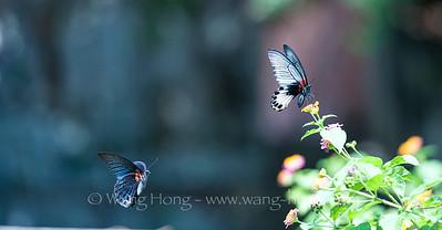 Butterflies 蝴蝶