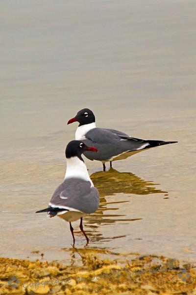 Laughing gull duo.jpg
