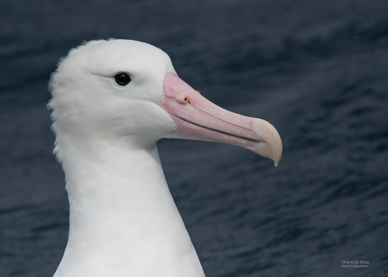 Southern Royal Albatross, Eaglehawk Neck Pelagic, TAS, Dec 2019-1.jpg