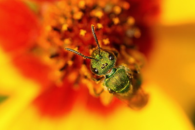 Metallic Green Agapostemon bee in a flower in Hampton, VA. © 2007 Kenneth R. Sheide