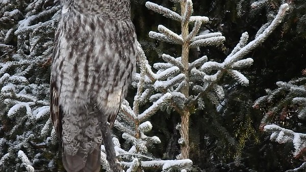 3-2-17 Video - Great Gray Owl