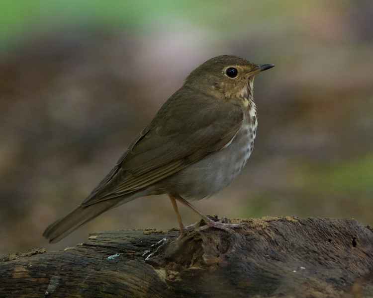 If I stand very still, maybe he won't notice me . . .    Hermit Thrush in Monticello Park, Alexandria VA