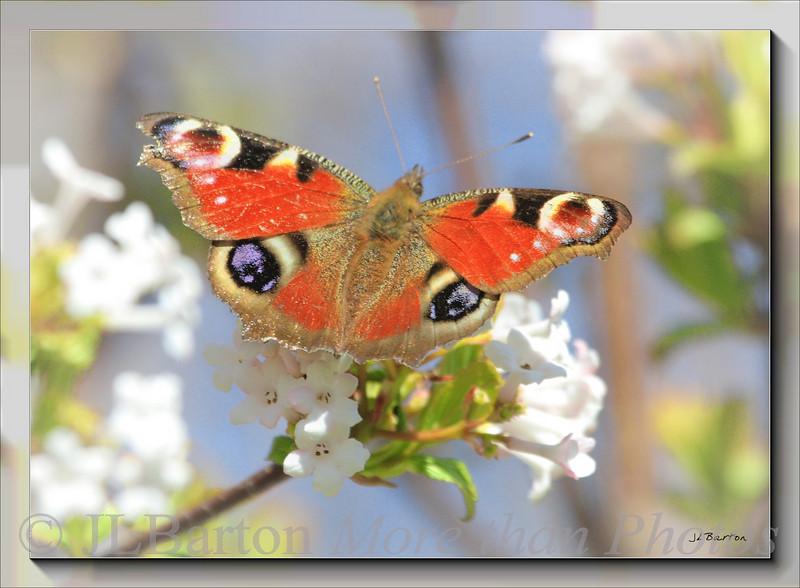 Pfauenauge (Peacock Eye) Butterfly in our garden