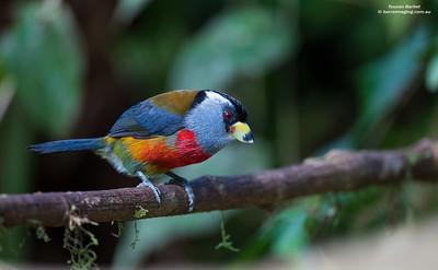 Toucan Barbets Semnornithidae