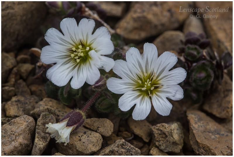 Keen of Hamar flora 2 (Unst)