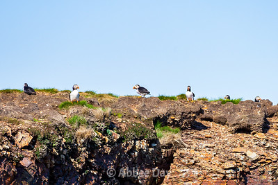 Many profiles of a Puffin
