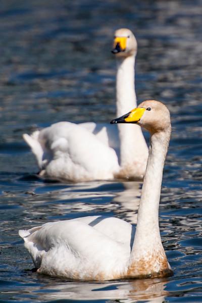 Whooper Swan - Reykjavik, Iceland