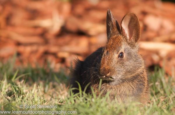 Rabbits and Pikas (Lagomorpha)