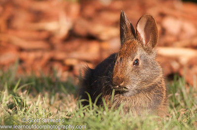 Rabbit (Lagomorpha)