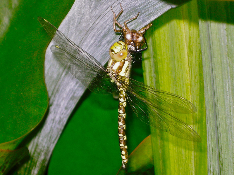 Dragonfly newly emerged from its Exuviea, Oxfordshire, UK