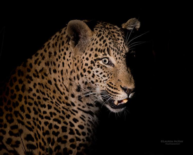 Leopard (Tingana), Sabi Sands (EP), SA, Sept 2015-1.jpg